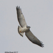 White-tailed Hawk from near Sabal Palm Sanctuary, Texas