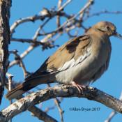 White-winged Dove at Salineno, Texas