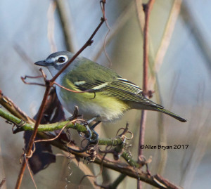 Blue-headed Vireo in Sussex County, Va.