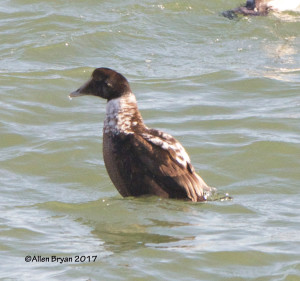 Immature male Common Eider from CBBT #1