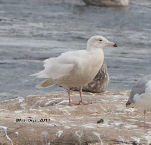 Glaucous Gull from new pedestrian bridge on James River in Richmond, Va.