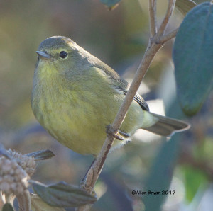 Orange-crowned Warbler in eastern Henrico County, Va.