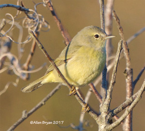 Orange-crowned Warbler at Back Bay NWR
