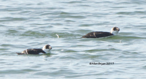Razorbill(s) at Fort Monroe, Va.