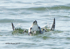 Razorbill diving at Fort Monroe, Va.
