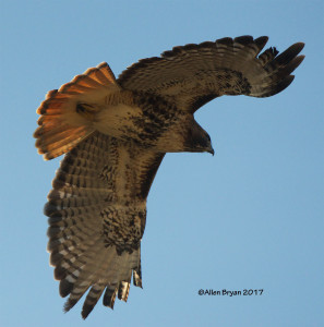 Red-tailed Hawk (albieticola) in Charles City County, Va.