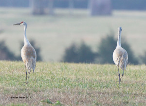 Sandhill Cranes in Louisa County, Va.