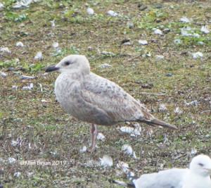 Thayer's Gull (immature- 1st cycle) in Colonial Heights, Virginia