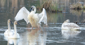 Trumpeter Swans in marsh on Goldmine Road, Louisa County, Va.