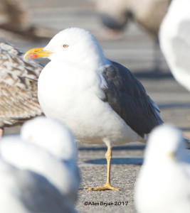 Lesser Black-backed Gull in Colonial Heights, Virginia