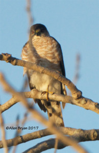 Sharp-shinned Hawk (male) in Charles City County, Va.