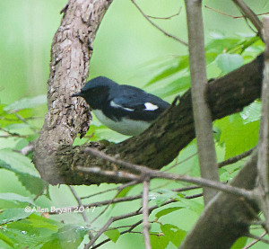 Black-throated Blue Warbler in Powhatan County, Va (1 of 3)