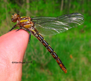 Chesapeake Snaketail (Ophogomphus susbehcha)- female in Powhatan County, Va.