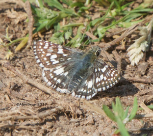 Common Checkered-Skipper in Powhatan County, Va.