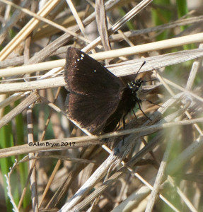 Common Sootywing in Powhatan County, Va.