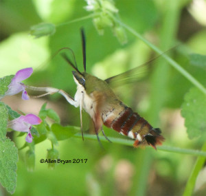 Hummingbird Clearwing Moth in Fluvanna County, Va.