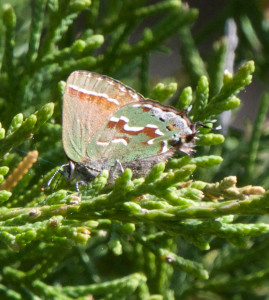 Juniper Hairstreak in Fluvanna County, Va.