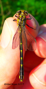 Spine-crowned Clubtail- female- Fluvanna County, Va.