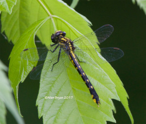 Spine-crowned Clubtail- female