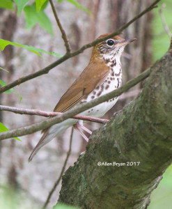 Wood Thrush in Powhatan County, Va.