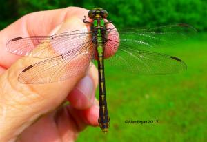 Ophiogomphus susbehcha from Tucker Park, Goochland County, Va.- female