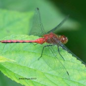 Sympetrum species, probable Ruby Meadowhawk(?) from Alleghany County, MD