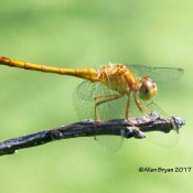 Autumn Meadowhawk at Cranesville Swamp Natural Area