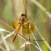 Band-winged Meadowhawk from Cranesville Swamp Natural Area, WV