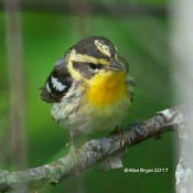 Blackburnian Warbler (female) at Cranesville Swamp Preserve, WV