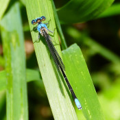Blue-fronted Dancer, Clarke County, Va.