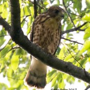Broad-winged Hawk from Cranesville Swamp Preserve, WV
