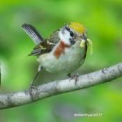 Chesnut-sided Warbler, female, with food at Cranesville Swamp Preserve, WV
