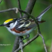 Chesnut-sided Warbler, male, at Cranesville Swamp Preserve, WV