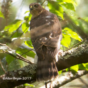 Immature Cooper's Hawk, one of two observed on same branch, at Cranesville Swamp Preserve, WV