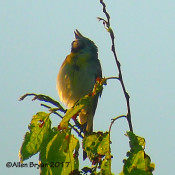 Dickcissel in Clarke County, Va.