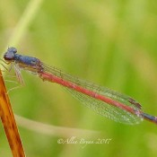 Eastern Red Damsel at Dolly Sods, WV