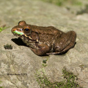 Green Frog in Clarke County, Va.