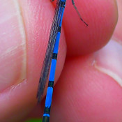 Hagen's Bluet at Dolly Sods, WV