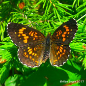Harris's Checkerspot from  Dolly Sods, WV