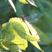 Apparent Laura's Clubtail from Tucker Park in Goochland County, Va.