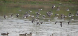 Lesser Yellowlegs and Dunlin in Frederick County, Va.