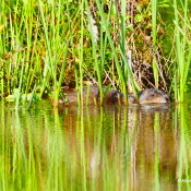 Muskrat at Dolly Sods