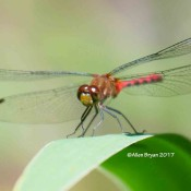 Ruby Meadowhawk in Allegany County, Md.