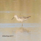 Stilt Sandpiper in Fredeick County, Virginia