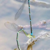 Stream Bluets, mated pair, along the Cacapon River, in Hampshire County, WV