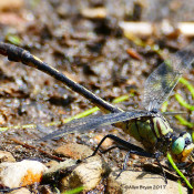 Unicorn Clubtail in Fauquier County, Va.