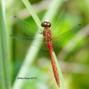 White-faced Meadowhawk, male, at Cranesville Swamp Preserve, WV