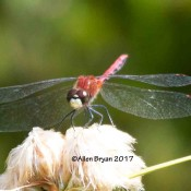 White-faced Meadowhawk at Cranesville Swamp Natural Area