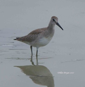 Willet in Frederick County, Va.