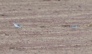 Baird's Sandpiper and Sanderling in Culpepper County, Va